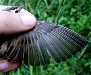 Acrocephalus schoenobaenus. Detalle del   Ala y desgastes, Edad Euring 3.